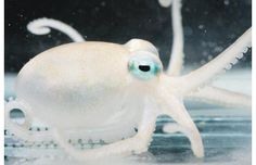 """""""The eerily beautiful Adelieledone polymorpha is one of 4 octopi discovered in Antarctica which have a cold resistant venom."""""""