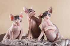 """What's it like to live with Sphynx cats, also known as """"naked cats""""? One owner gives us the scoop on everything from chattering to their hairless coats!"""