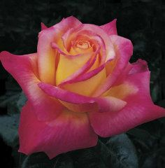 Love & Peace Hybrid Tea Rose   Hybrid Tea Roses   Edmunds' Roses