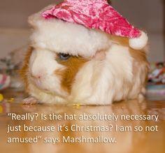 Guinea Pig, Marshmallow, on Christmas morning.