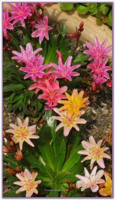 Lewisia Elise Çiçeğinin Özellikleri, Yetiştirilmesi ve Bakımı - Sayfa 3 - Forum Gerçek