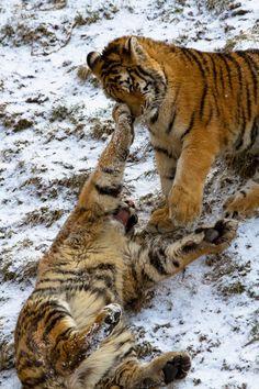 Bengal Tiger Cubs Snow Play