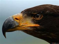 Power animal Brown eagle