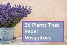 26 Plants That Repel Mosquitoes GREAT ARTICAL - Lemon Grass is the #1 recommended plant to grow in the landscape and in containers to use around your patio, deck or outdoor living spaces to repel mosquitoes during the summer.
