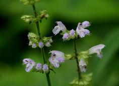 Akino-tamura-sou (japanese name) /  Salvia japonica (scientific name)