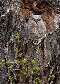 Baby owl in Grand Teton National Park, WY.