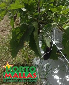 HORTOMALLAS crop support netting used to tutor eggplant. The branches will sit on the horizontal wire of the trellis net. Growing Eggplant, See Picture, Trellis, Photo Galleries, Plant Leaves, Gallery, Eggplants, Branches, Wire