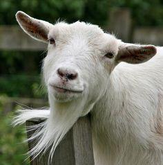 Und bewundere diese Ziege, deren lieblicher Bart sanft im Wind flattert. | 15 Gründe, dass Ziegen unterschätzte, majestätische Wesen sind