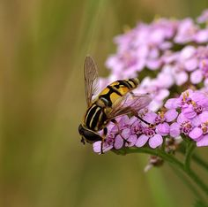 Hoverfly on Pink Yarrow