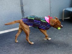Manhattan Center    KENYA - A0988035   FEMALE, BROWN / WHITE, AM PIT BULL TER MIX, 2 yrs  STRAY - STRAY WAIT, NO HOLD  Reason STRAY   Intake condition NONE Intake Date 12/23/2013, From NY 10452, DueOut Date 12/26/2013,    Medical Behavior Evaluation GREEN  Medical Summary  SCAN NEGATIVE BRIGHT, ALERT, RESPONSIVE, HYDRATED PHYSICAL EXAM- Mild dental tartar Female NOSF   Weight 56.0