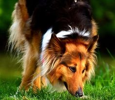 Did you know that Collies are affectionate, loyal and smart. Do you know the most famous Collie of all time? Keep reading to find out!