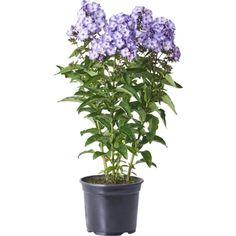Härlig sensommarblommande perenn med doftande blommor i olika färger. Trivs i sol till halvskugga i fuktighetshållande, näringsrik jord. Fin som snittblomma. ...
