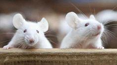 Revierten los síntomas del autismo en ratones