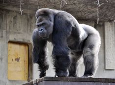 Gorila 'bonitão' vira celebridade no Japão,Apelidado de ikemen (algo como 'bonitão', em japonês), Shabani, um gorila de 18 anos.