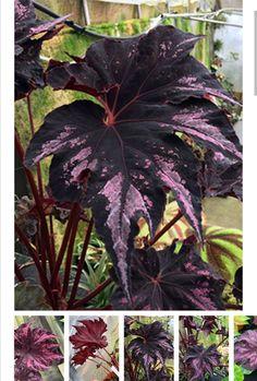 Unusual Plants, Rare Plants, Exotic Plants, Cool Plants, Tropical Plants, Begonia, Planting Succulents, Planting Flowers, Belle Plante