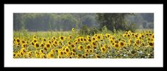 Sunny Field Panorama Framed Print By Bonfire #Photography