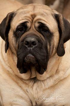 Pet Portrait - Bull Mastif