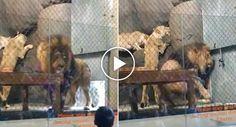 Leão Perde A Ponta Da Cauda Depois De Ficar Presa Em Porta Hidráulica De Jardim Zoológico