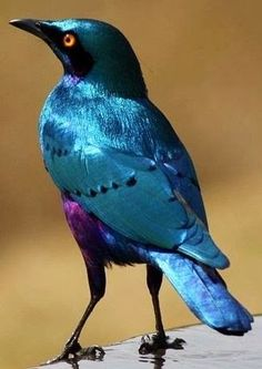 Greater Blue-eared Glossy Starling from Africa ~ Photos Hub@@