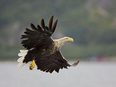 Haliaeetus albicilla White Tailed Eagle, Birds Of Prey, Raptors, Bird Feathers, Bird Houses, Bald Eagle, Finland, Natural Beauty, Cool Photos