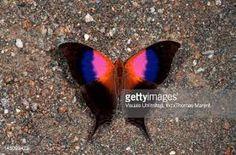 Výsledek obrázku pro daggerwing butterfly