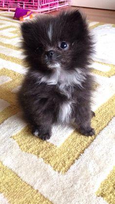 My Blue grey Pomeranian puppy
