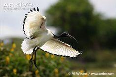 African sacred ibis photo - Threskiornis aethiopicus - G74003 | ARKive