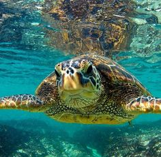 Clark Little Photography - Sea Turtles in Hawaii Cute Turtles, Sea Turtles, Clark Little Photography, Animals And Pets, Cute Animals, Tortoise Turtle, Turtle Love, Tortoises, Sea World