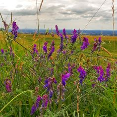 Bright purple flowers at the top of the South Downs in Sussex..
