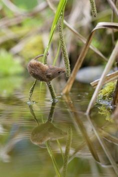 A precarious position... Harvest Mouse (Richard Bowler)