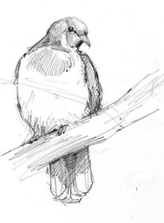 Better Drawing 5 Steps to Better Bird Drawing - fruit pigeon - If you want to take your birding experience to another level (as if simply identifying fall warblers or gulls at a city dump weren't challenging enough), try drawing them. Bird Drawings, Animal Drawings, Pencil Drawings, Drawing Birds, Drawing Animals, Animal Sketches, Drawing Sketches, Sketching, Bird Sketch