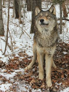 Gray Wolf (canis lupus) delisted April*15*2011.     I AM PRO*WOLF <3  I've signed my name on every pro wolf petition and mission continued on. I support the cause on endangered Americam Wolves from extinction.. HAVE A GREAT DAY.