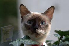 Tonkinese Cat, Birman Cat, Burmese Kittens, Gatos Cat, Fancy Cats, Cute Cat Breeds, Curious Cat, Cat Sitting, Animals For Kids