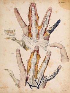 'The Fingers'  From 'Illustrations of surgical anatomy, with explanatory references' by John Burt, 1833. ~~ www.facebook.com/TheIrregularAnatomist ~~ www.twitter.com/Irr_Anatomist