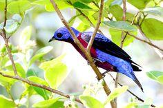 Foto anambé-de-peito-roxo (Cotinga cotinga) por Jorge Macêdo | Wiki Aves - A Enciclopédia das Aves do Brasil