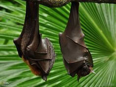 Photo and caption by Brian Cabrera - This is a pair of sleeping vampire bats. This photo was taken on a drizzly afternoon at Singapore Zoo.