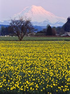 Puyallup Tulip Fields with Mt. Rainier in the background ... photo by Charles Crust