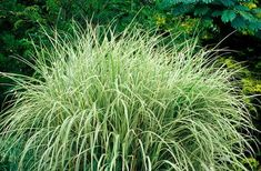 8 Best Ornamental Grasses to Add Privacy to the Garden Swishing merrily in the breeze, tall ornamental grasses provide privacy and beauty for the landscape. And they are fairly cheap and easy to grow. Shrubs For Privacy, Privacy Landscaping, Modern Landscaping, Front Yard Landscaping, Landscaping Ideas, Landscaping With Grasses, Backyard Privacy, Texas Landscaping, Front Walkway