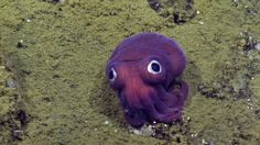 A team of scientists and technicians scanning the rocky ocean floor off Southern California couldn't contain their excitement when they spotted a bright-purple, googly-eyed stubby squid.