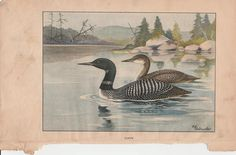 Loon/Herring Gull Antique Bird Print Double Sided 1926 R. E.