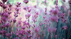 Скачать обои цветы, лаванда, сиреневые, поле, раздел цветы в разрешении 1366x768