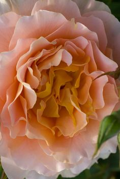 Floribunda rose  Bred by Samuel  Darragh McGredy 1994. USA.  Described as an apricot, copper blend whose colors soften over time. Strong musk sweet fragrance.