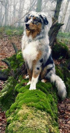Majestic Australian Shepherd Pup