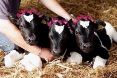 Picture by Gabriel Szabo/Guzelian Triplet calves have been born to a cow on a Wirral farm at odds of to one. George, Alexander and Louis, na. Cute Baby Cow, Baby Cows, Cute Cows, Cute Baby Animals, Rare Animals, Animals And Pets, Fluffy Cows, Tier Fotos, Triplets