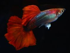 TYPES OF GUPPIES - Guppies are a very easy-to-breed fish species. They also adapt quickly to their environment and this is what makes them perfect for beginner aquarists. They do not require special living conditions and suitable food is easy to find and very affordable, so their upkeep is very inexpensive also. #TYPESOFGUPPIES #Guppy