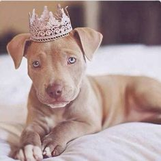 #Pitbull American Pit Bull Terrier Puppy Dog Puppies Hound Dogs Pit Pittie