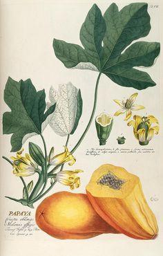 Botanical illustration of papaya from the Biodiversity Heritage Library