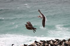 Seagull vs Skua