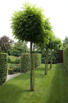 Garden Architect Vermeulen (Nigella) robin is mop top tree Garden Pool, Garden Trees, Garden Paths, Shade Garden, Garden Bed, Formal Gardens, Outdoor Gardens, Hedges, Landscape Architecture