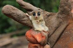 What if I Put My hand Here...Is This Good? mouse lemur.